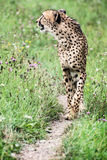 Wild Cheetah (Acinonyx jubatus) Stock Images