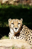 Wild Cheetah Portrait Stock Image