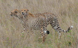 Wild Cheetah brother Royalty Free Stock Photo