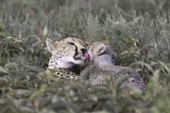 Wild cheetah with cub Stock Image