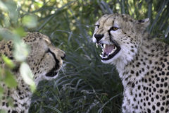 Wild cheetah with cub Stock Photography
