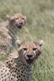 Wild cheetah with cub Royalty Free Stock Photo