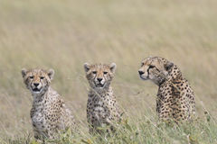 Wild cheetah with cub Royalty Free Stock Photos