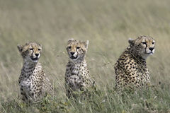 Wild cheetah with cub Royalty Free Stock Images