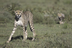 Wild cheetah with cub Royalty Free Stock Photography