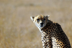 Wild cheetah face portrait Royalty Free Stock Photo
