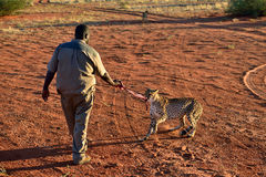 Wild Cheetah feeding Stock Images