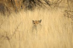 Wild cheetah in grass Stock Images