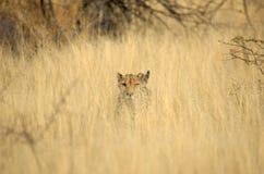 Wild cheetah in grass. Wild cheetah peering through tall grass Stock Images
