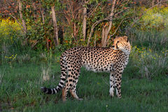 Wild cheetah in Namibia nature,Africa Stock Images