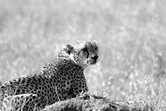 Wild cheetah in savanna in black and white Stock Photo