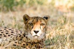 Wild Cheetah In Savannah Stock Image