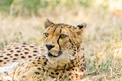 Wild Cheetah In Savannah Stock Images