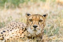 Wild Cheetah In Savannah Royalty Free Stock Images