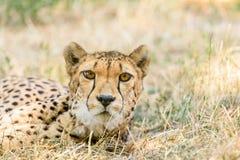 Wild Cheetah In Savannah Royalty Free Stock Photo