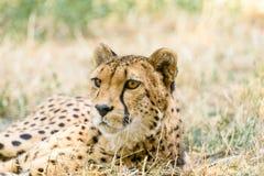 Wild Cheetah In Savannah Royalty Free Stock Image
