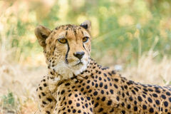 Wild Cheetah In Savannah Royalty Free Stock Photos