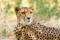 Wild Cheetah In Savannah Stock Photography