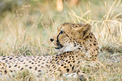 Wild Cheetah In Savannah Stock Photos