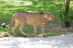 Wild Cheetah. Walking in the wilderness of Tanzania Royalty Free Stock Image