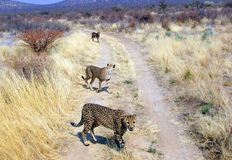 Wild cheetahs Royalty Free Stock Photography