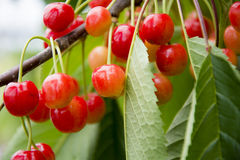 Wild Cherries Stock Images