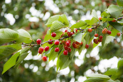 Wild Cherries Stock Photos