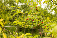 Wild cherries Royalty Free Stock Photos