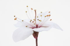 Wild cherry. Delicate pink cherry-flower, on white Stock Photo