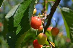 wild Cherry Arkivbild