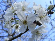 Wild cherry blossom Royalty Free Stock Photo