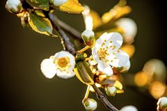 Wild cherry blossom in Germany. In spring Stock Photo