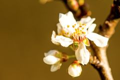Wild cherry blossom in Germany. In spring Royalty Free Stock Photography