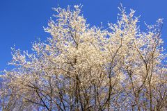 Wild cherry blossom in Germany. In spring Royalty Free Stock Photo