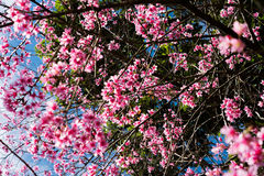 Wild cherry blossom. In Khun Chang Kian ,Thailand Stock Image