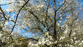 Wild cherry blossom in spring in Germany. With camera drive stock video