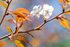 Wild cherry blossoms Stock Photo