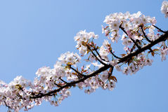 Wild cherry blossoms Royalty Free Stock Photos