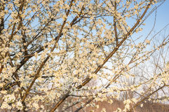 Wild cherry blossoms Royalty Free Stock Images