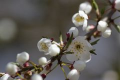 Wild Cherry blossoms on a branch royalty free stock photography