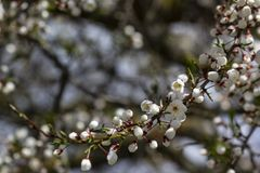 Wild Cherry blossoms on a branch royalty free stock photos