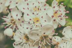Wild cherry blossoms. Macro, with vintage postcard style royalty free stock photos