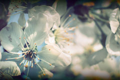 Wild cherry flowers blooming. Cherry flower in bloom in spring Stock Images