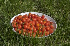Wild cherry tomatoes on white plate in the grass Stock Photos
