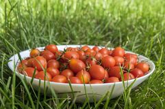 Wild cherry tomatoes on white plate in the grass Royalty Free Stock Photos