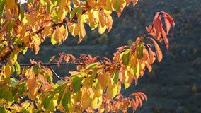 Wild cherry tree in autumn. Red and golden leaves on a tree branch on bright autumn day. Autumn colors in forest. Foliage in fall stock video
