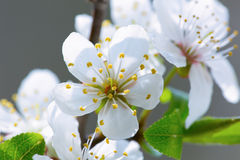 Wild cherry tree blossom in spring Stock Photography