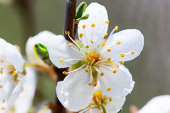 Wild cherry tree blossom in spring Royalty Free Stock Image