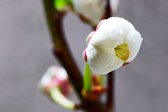 Wild cherry tree blossom in spring Royalty Free Stock Photography