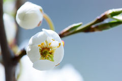 Wild cherry tree blossom in spring Royalty Free Stock Photo